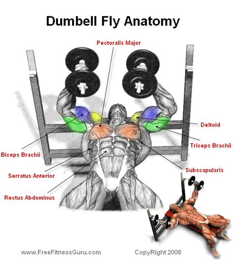 pec deck flyes target muscles freefitnessguru dumbell fly anatomy