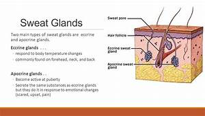 Glandulas Sudoriparas Ecrinas Y Apocrinas