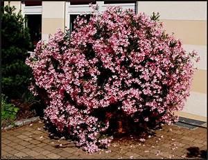 Oleander Winterhart Kaufen : oleander foto bild natur pflanzen olympus bilder auf fotocommunity ~ Eleganceandgraceweddings.com Haus und Dekorationen