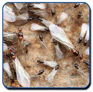 flying ants or termites essential pest control tucson bed With bed bugs tucson