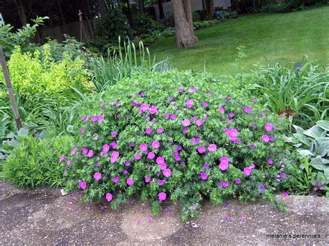 what are hardy perennial plants melanie s perennials hardy geraniums