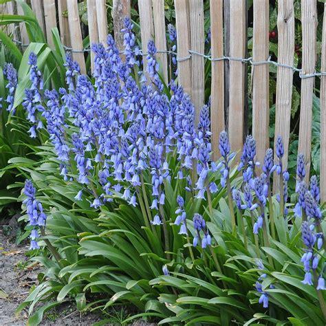 Garten Gestalten Blumen by Hyacinthoides Hispanica Excelsior Blue Garden
