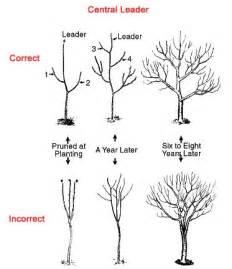 how to prune an apple tree the garden of eaden