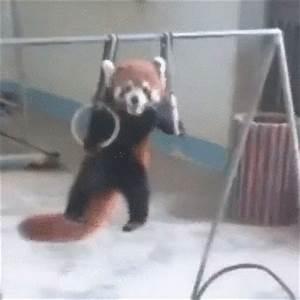 Red Panda .GIF dump - Album on Imgur