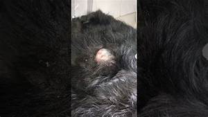 Popping A Sebaceous Cyst On A Dog