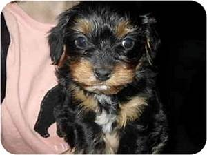 Delaney | Adopted Puppy | Lonedell, MO | Yorkie, Yorkshire ...