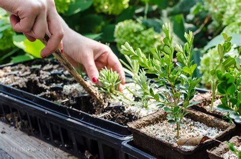 Some Tips For Propagating Lavender With Cuttings