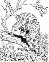 Jungle Coloring Supercoloring Tiger Printable Super Colorare Disegni Skip sketch template