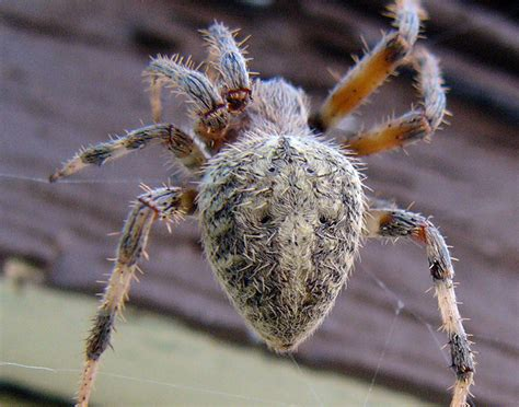 Barn Spider Bite by 2019 Pictures Of Spider Bites Pictures Of Spider