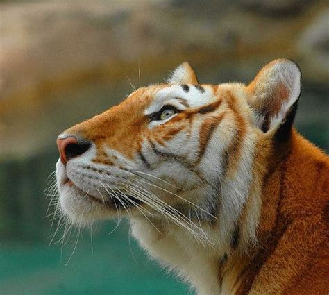 Golden Tiger The Colors Pinterest