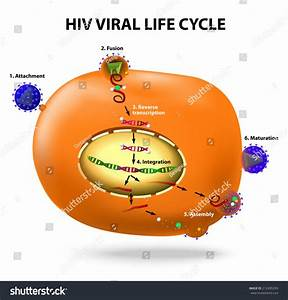 Hiv Viral Life Cycle  Active Infection Of T Cell By Hiv  Vector Diagram