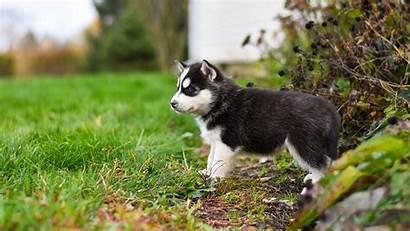 Husky Cub Siberian Wallpapers Wallpapermaiden Desktop