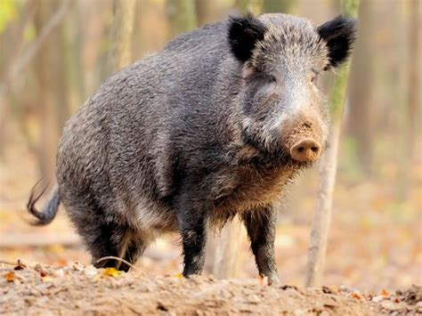Feral Pigs Creating Problems For Farmers, Other Wildlife