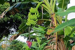 Zeitraffer Berechnen : bestellen bananenstaude bananenstaude bild bildagentur ~ Themetempest.com Abrechnung