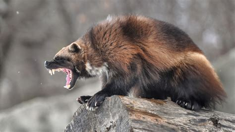 Wolverine Animal Wallpaper - wolverine animal wallpaper impremedia net