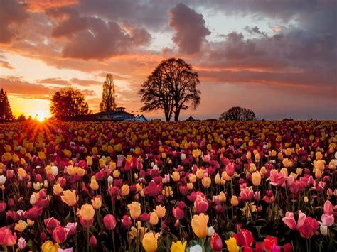 tulips flowers field trees farm orange sky  gorgeous