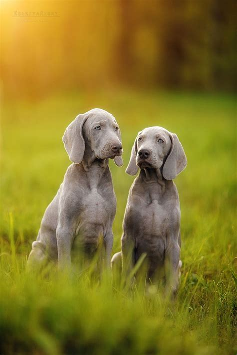 best 25 weimaraner ideas on pinterest blue weimaraner