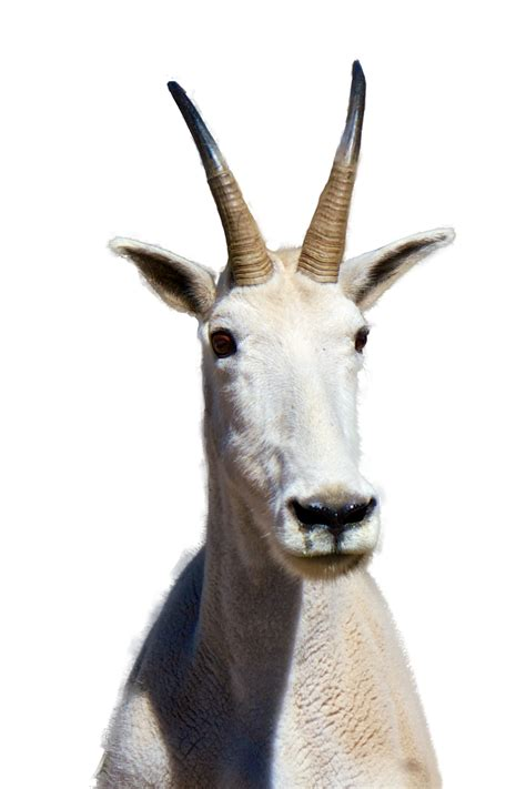 collection  mountain goat png hd pluspng