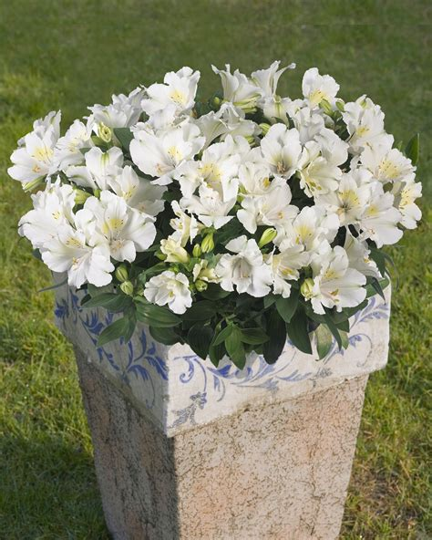 alstroemeria common name princess 175mm pot