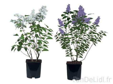 lilas en pot entretien lilas en pot jardin fan de lidl fr