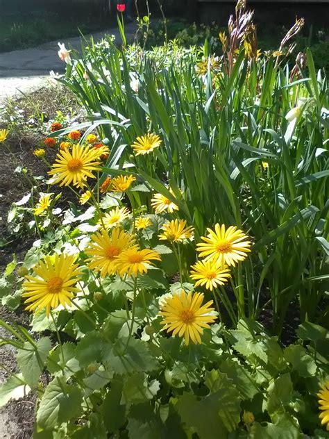 Vai viskošākās pavasarī ir dzeltenās puķes?