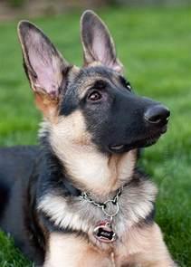 German Shepherd Dog Puppy