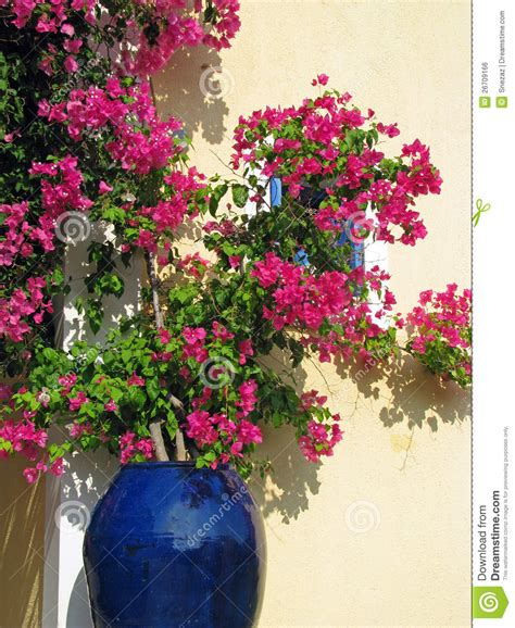growing bougainvillea in pots bougainvillea in blue ceramics pot royalty free stock image image 26709166
