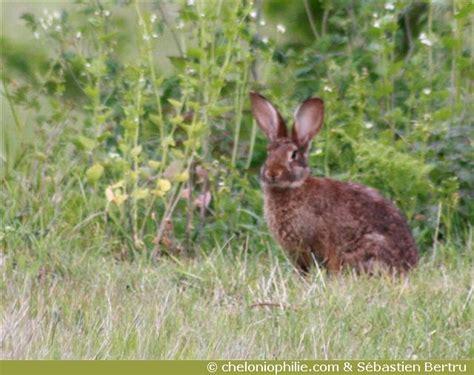 cuisiner le lapin de garenne les photos du lapin de garenne