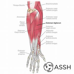 Anatomy 101  Wrist Tendons