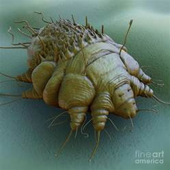Scabies Mite Close Up