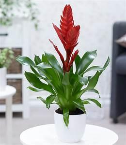 Flammendes Schwert Pflanze : vriesea rot 1 pflanze online kaufen bei den besten planzen shops im internet ~ Frokenaadalensverden.com Haus und Dekorationen
