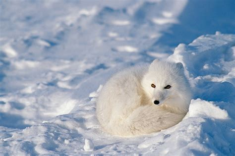 Free Live Animal Wallpaper - animals in winter wallpapers high quality free