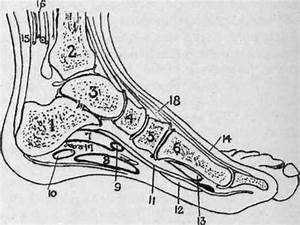 The Ankle And Foot  Surface Anatomy  Continued