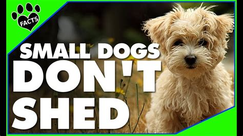 Breeds Of That Don T Shed by Top 10 Small Breeds That Don T Shed