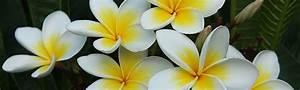 Plantes Exotiques Rustiques : frangipaniers p pini re nature et tropiques plantes ~ Melissatoandfro.com Idées de Décoration
