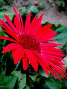 Gerber daisy | ... Daisy