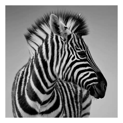 Zebra Bild Ikea by Gebraucht Pj 228 Tteryd Zebra Wandbild Ikea In 67551 Worms Um