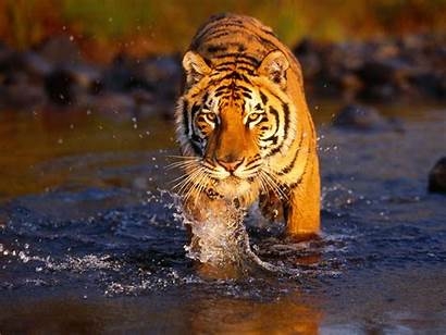 Tiger Desktop Wallpapers Tigers Animals