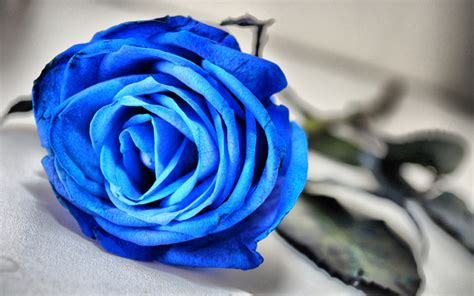 colored roses blue flowers wallpaper 33341025 fanpop