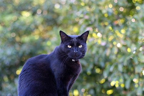 Black Cat Safety On Halloween Popsugar Pets