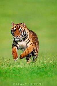 17 Best images about tigers on Pinterest | Image search ...