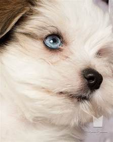 Havanese with Blue Eyes