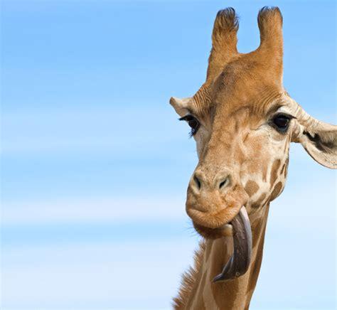 latest google giraffe update affect
