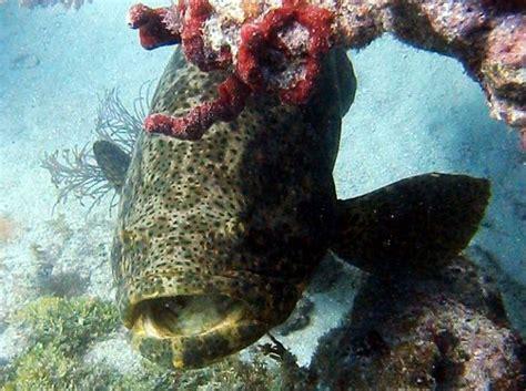 goliath grouper florida key west itajara epinephelus location