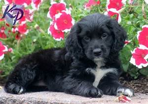 Black Cocker Spaniel Mix Puppy