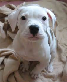 Cute American Bulldog Puppies