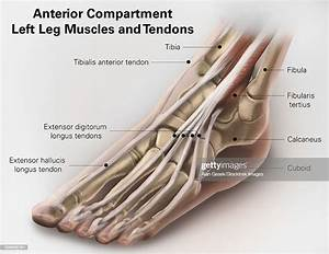 Anterior Compartment Anatomy Of Left Leg Muscles And
