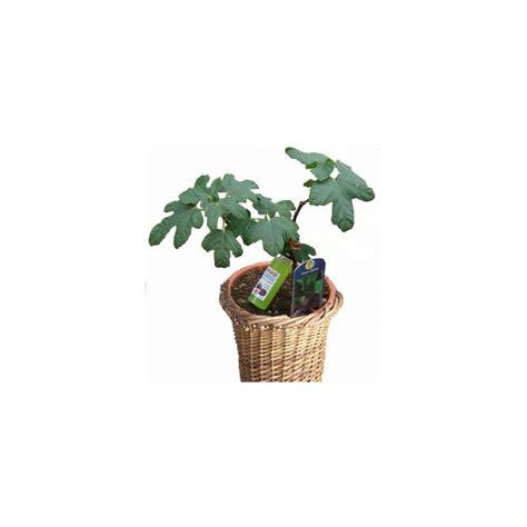 figuier fiole cache pot plantes et jardins
