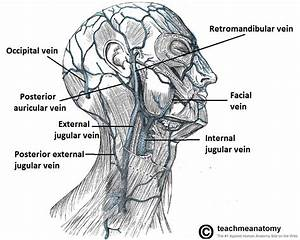 Venous Drainage Of The Head And Neck