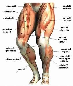 Upper Leg Muscle Diagram